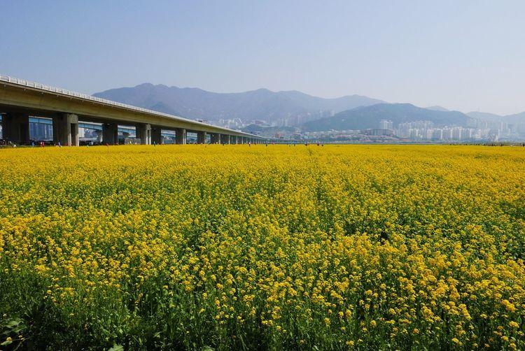 Yellow field in bloom