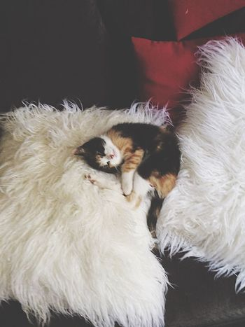 Sleep Kitten Little Domestic Cat Domestic Animals Pets Mammal Feline Animal Themes Indoors  Home Interior Sitting No People One Animal Close-up Day