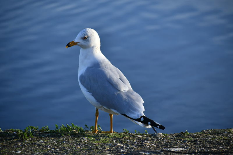 Animal Themes Animal Wildlife Animals In The Wild Beak Beauty In Nature Bird Close-up Day Focus On Foreground Nature No People One Animal Outdoors Perching Seagull Water White Color