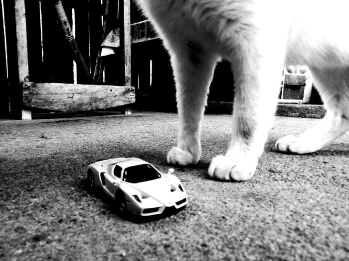 Driving around the beasts! Feline One Animal Animal Leg Outdoors Close-up Exteriorphotography Toy Car Close Up Beasts In Black And White