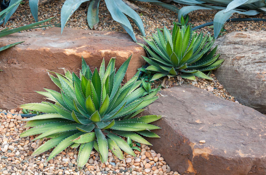 Agave plant tropical drought tolerance has sharp thorns.,Agave tequilana Aloe Vera Plant Beauty In Nature Cactus Close-up Day Field Freshness Front Or Back Yard Green Color Growth High Angle View Land Leaf Nature No People Outdoors Plant Plant Part Plantation Potted Plant Succulent Plant