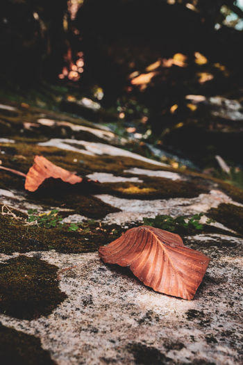 Close-up of autumn leaves on rock