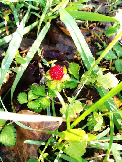 sweet life Wild Strawberry Wild Strawberries Wild Strawberry Flower Wild Strawberry Flower Wild Strawberry; Nature; Red; Forest; Wicker; Fruit; Uncultivated; Sweet; Food; Tasty; Natural; Juicy; Plate. Wildflower Uncultivated In Bloom Plant Life Pollen Botany
