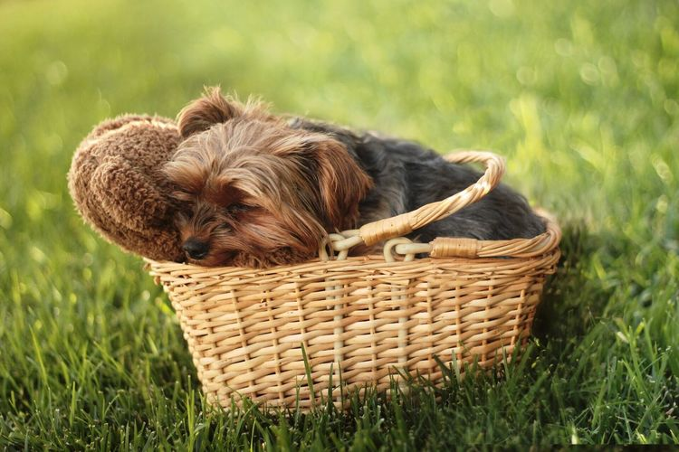 Dog In Basket On Grass