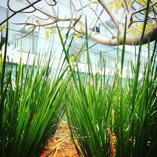 Bangalore A.K.A. Garden City. Gogreen Nature Naturelover Nammabengaluru Indiaclicks Bangalore_insta Incredibleindia Photoarena_nature Photooftheday PhotographyLove Instadaily