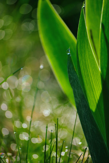 Green Color Macro Beauty Morning Light Water Droplets Blade Of Grass Bokeh Lights Dew Dewdrops Drop Fragility Freshness Grass Blades Green Color Green Nature Growth Iris - Plant Large Leaves Leaf Macro Nature No People Plant Plant Part Purity Selective Focus Vulnerability
