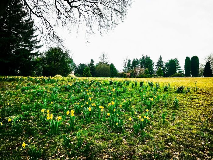 Enjoyable Day Edit Daffodil Growth Tree Grass Field Green Color Sky Nature Plant Day No People Outdoors Clear Sky Tranquility Beauty In Nature Freshness