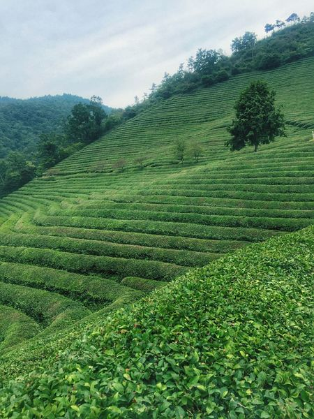 Agriculture Rural Scene Tranquil Scene Scenics Tree Farm Growth Green Color Beauty In Nature Field Tranquility Landscape Nature Hill Crop  Plant Sky Travel Destinations Outdoors Cultivated Land Greentea Field Greentea