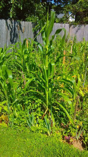 Garden corn! Beauty In Nature Backyard Beauty Plants Nature Is Awesome Beauty In Nature GMO Free Corn Corn