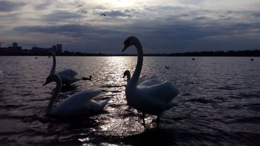 They Are So Cute! Swans Swans On The Lake Swans Of Eyeem Swan Large Group Of Animals Animals In The Wild Floating On Water Swimming Togetherness Animal Themes White Color Sunset Nature Tranquility Animal Wildlife Beauty In Nature Water Bird No People Scenics Reflection Waterfront Sky Water Lake