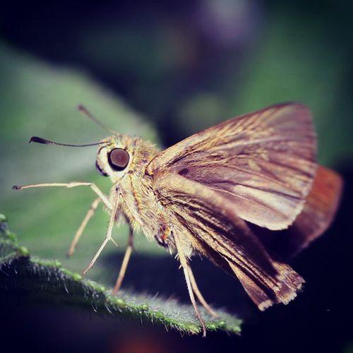 Ready to fly. Kupukupu Butterfly Butterflies Ig_butterflies ig_butterfly tgif_insects kings_insects loves_insect insectagram macroworld_tr macro_spotlight macro_secrets ig_macro