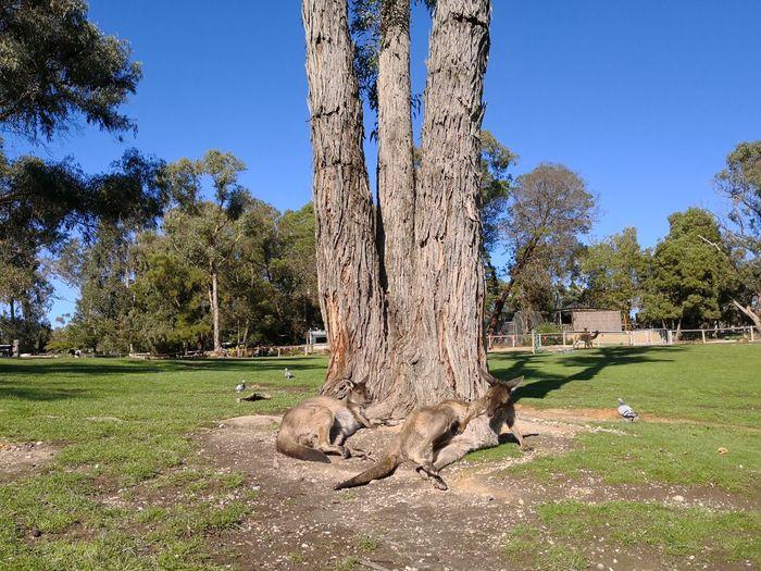 Lounging in the sun Melbourne Ballarat  Ballarat Wildlife Park Kangaroo Australia Australian Landscape Tree Sky Grass Green Color