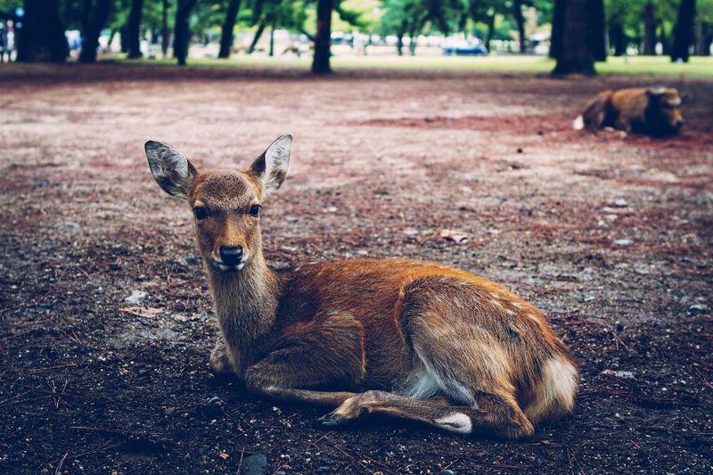 Japanese Bambi Japan Deer Animal Vintage