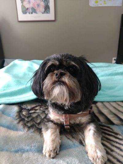"""My girl Molly. She didn't want to get out of bed lol. She says """"Hello everyone"""" 😊 Dog Pets One Animal Indoors  Animal Domestic Animals Animal Themes Portrait Bed Mammal Looking At Camera No People Sitting Close-up"""