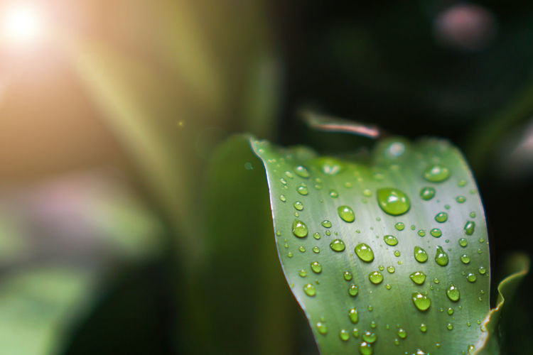 Banner size,Rain water on green leaves pattern background. Water Leaf Green Background Nature Droplets Plant Texture Dew Abstract Droplet Drop Natural Spring Pattern Detail Wet Fresh Tree Bright Rain Life Growth Garden Freshness Flora Leaves Concept White Tropical Color Organic Space Season  Park Simple Form Lines Striped Sheet Grow Close-up Green Color No People Beauty In Nature Day Plant Part Outdoors Selective Focus Focus On Foreground Vulnerability  Fragility RainDrop Purity