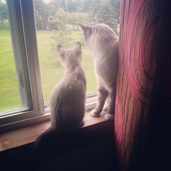 Just bird watchin' Siamese Kittys  Purr Meow