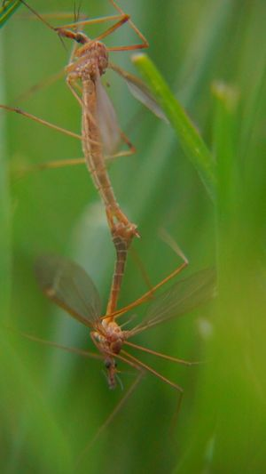 Mosquito Eater Mosquito Eater Mating Bug Love Bug Long Legs Antennas Insect Animal Wildlife Animal Themes Outdoors No People Nature Close-up Animals In The Wild In The Wild Grass Insects  Insect Photography