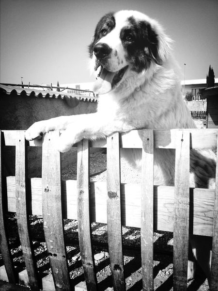 Dog Happy Pippo Blackandwhite