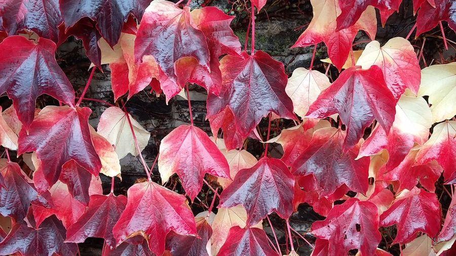 Outdoors Close-up Red Pflanzen Pflanzen Am Wegesrand Herbst Herbst In Seinen Schönsten Farben nature Herbstrot