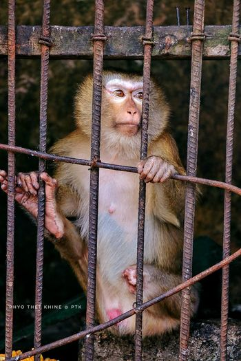 Broken Leg Prison Prisoner Trapped Cage Security Bar Chain Metal Grate Animals In Captivity Prison Cell Metal Monkey