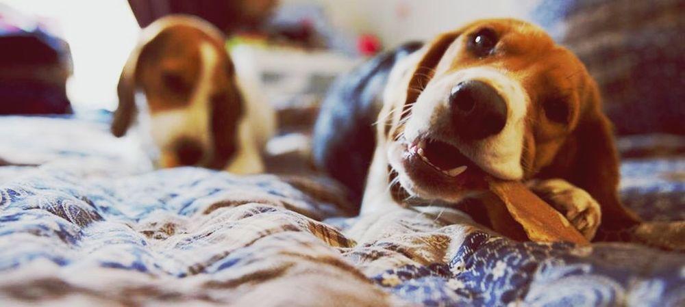 Beagle Beagleoftheday Beaglelovers I Love My Dog Dog Love Pet Portraits
