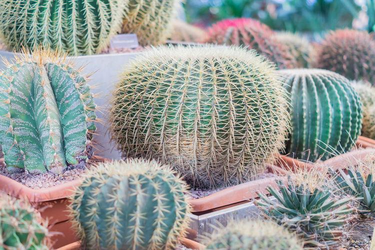 Ball shaped cacti in botanical garden
