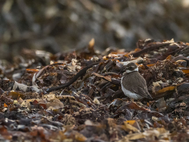 Helgoland Bird Birding Animal Themes Animal Vertebrate Selective Focus Animal Wildlife Nature No People Animals In The Wild Day Field Plant Part Close-up Leaf Young Animal Land One Animal Young Bird Outdoors Leaves Surface Level