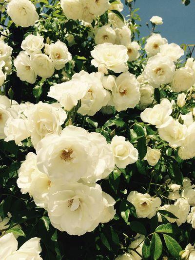 Bayıldım bunlaraa... Beyaz Guller Mis Kokulu White Roses
