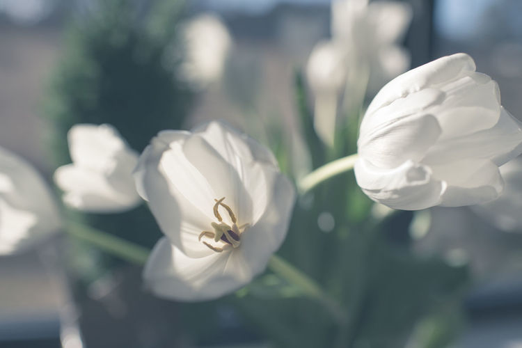 White Tulips Tulips Beauty In Nature Close-up Flower Flower Head Focus On Foreground Fragility Freshness Growth Nature Petal White White Color White On White