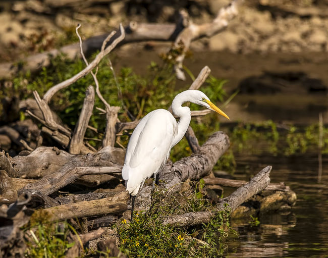 A great white egret waiting for lunch to swim by. Animal Themes Animal Wildlife Animal Animals In The Wild Bird Egret Water White Color Great Egret Nature Lake Perching Ardea Alba Ardeidae Avian Ornithology  Fishing Lunchtime Great White Egret