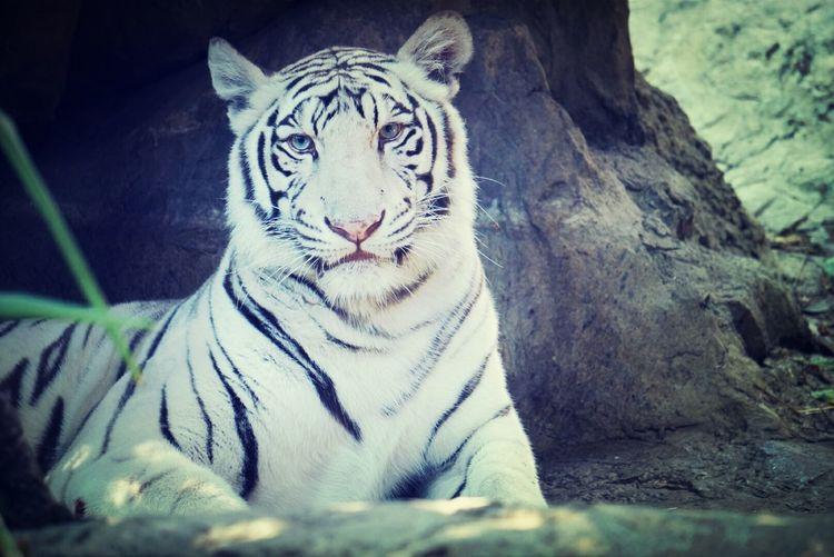 Omaha Zoo Tiger White Tiger