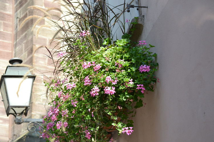 Architecture Beauty In Nature Blooming Building Exterior Built Structure Day Flower Flower Head Fragility Freshness Growth Life In The City Nature No People Outdoors Pink Color Plant Potted Plant Streelight Window Window Box