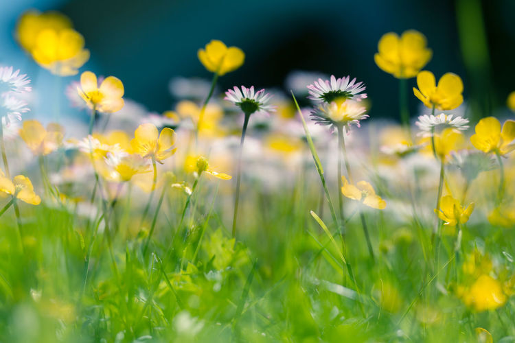 Close-up of fresh yellow wildflowers in field
