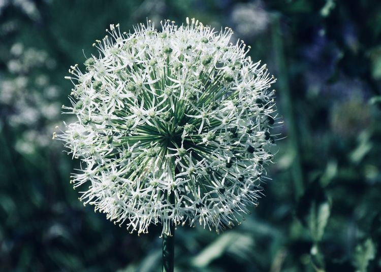 white allium ball Allium Copy Space Adore Allium Flower Backgrounds Ball Beauty In Nature Bokeh Botany Close-up Flower Flower Head Flowering Plant Focus On Foreground Fragility Freshness Garden Green Color Growth Outdoors Plant Softness Spiky Tranquility Vulnerability