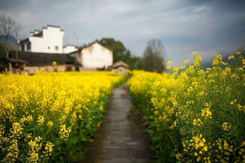 Pathway amidst oilseed rape
