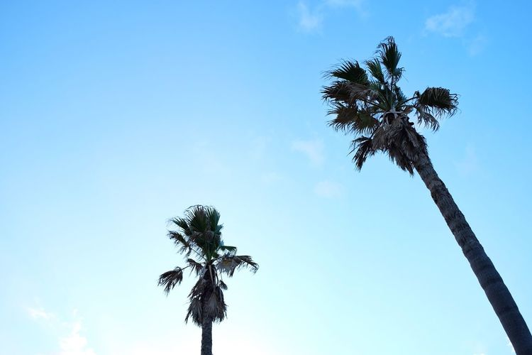 Palm tree🌴 Sky Tree Plant Low Angle View Growth Nature Day Beauty In Nature Outdoors Tranquility Clear Sky Tall - High Coconut Palm Tree Palm Tree No People