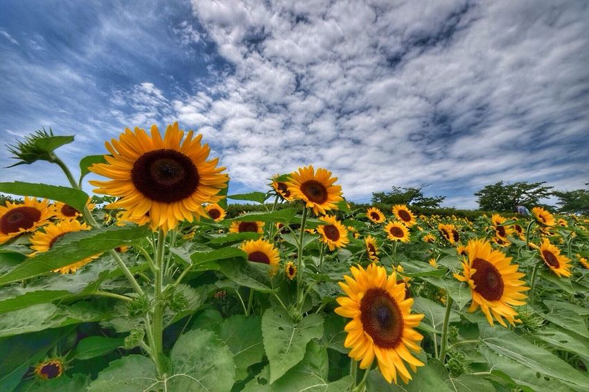 Flower Sunflower Nature Beauty In Nature Yellow Sky Cloud - Sky