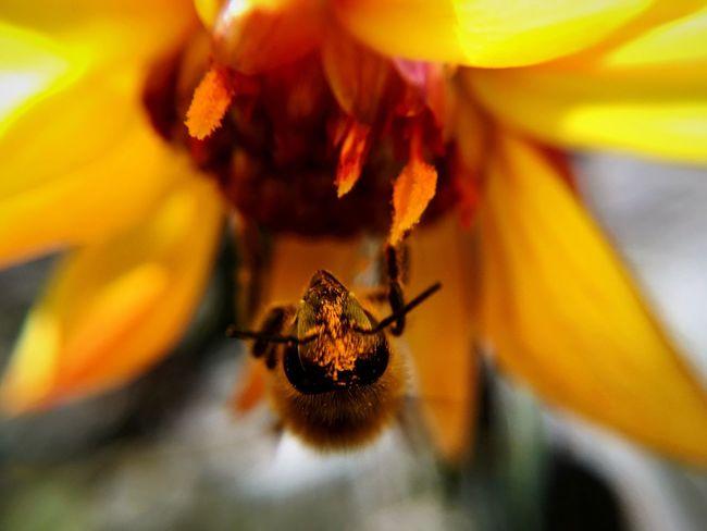 Bee Flower Pollen Pollination Yellow Bees Taking Photos 43 Golden Moments Closeup Nature Bugs Selective Focus Macro Lense IPhoneography Macro Macro Photography