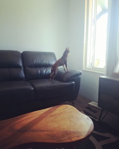 Window Dogs Little Chihuahua Standing Watching Alertness Dogs Home Showcase Interior Living Room Home Interior Domestic Life Window Sofa Armchair Side Table