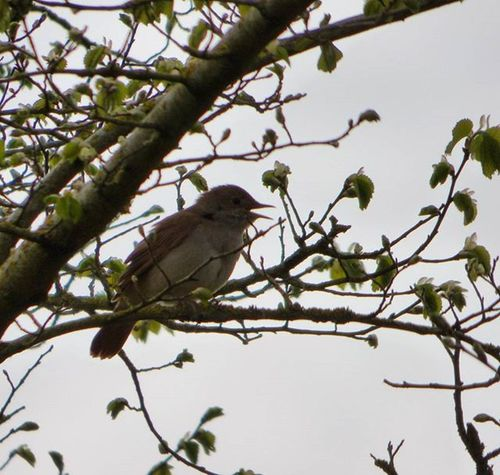 Saw (and heard!) my my first ever Nightingale today at Rspbpulborough brooks, Sussex . This guy was amazing, I'll upload video of the song when I can download it 🙊 Nature Photography Uknaturecollective Nature Wild Followme Ig_birdlovers Urbanwildlife Ig_birdwatchers Nuts_about_birds Kings_birds Wildlife Nature England Rsa_nature Ukwildlifeimages Springwatch Lumix Naturehippys
