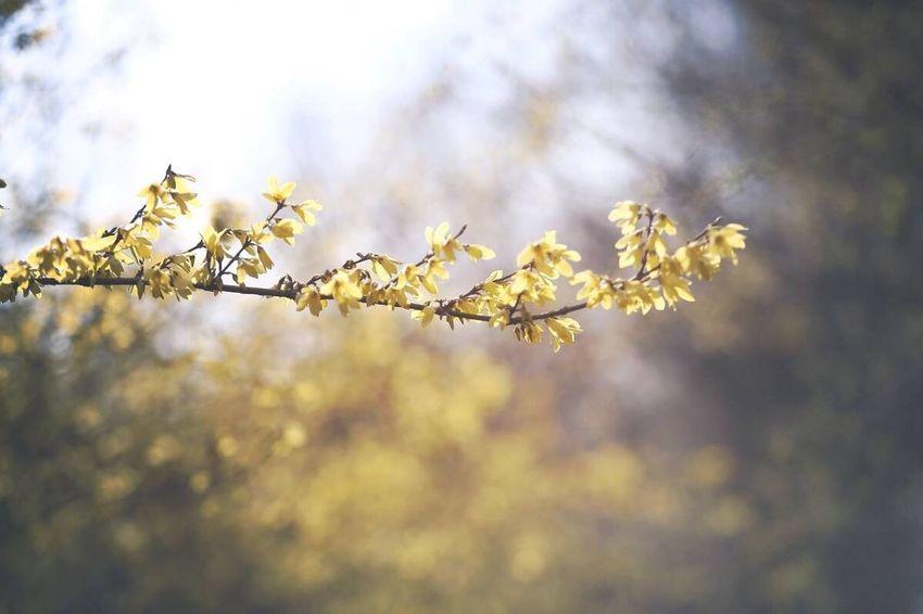 Forsythia Flowers Spring 개나리가 만개했네요
