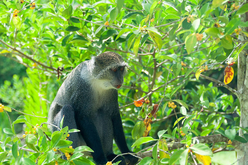 Gray Monkey Animal Head  Animal Themes Animal Wildlife Ape Beauty In Nature Day Focus On Foreground Gray Gray Monkey Green Green Color Growth Leaf Mammal Monkey Nature Outdoors Plant Primate Tanzania Tree Wildlife Zanzibar