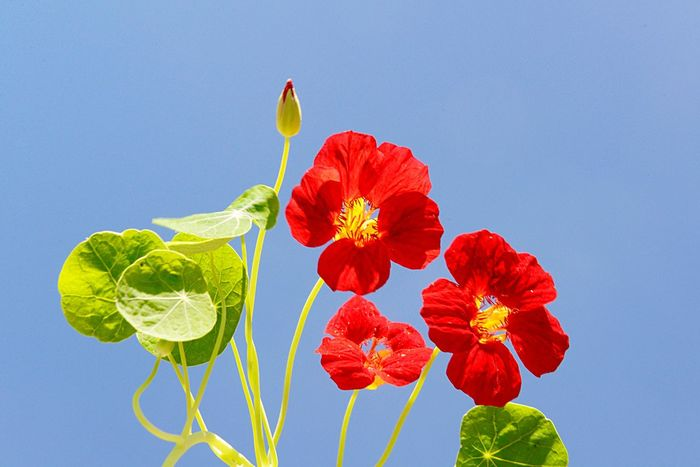 Tropaeolum Majus Monks Cress Indian Cress Nasturtium Medicinal Plant Horticulture Garden Blossom Outdoors Plant Flower Flowering Plant Freshness Beauty In Nature Nature Leaf Close-up Blue Fragility Flower Head No People Red Vulnerability  Growth Plant Part Green Color Petal Inflorescence Sky