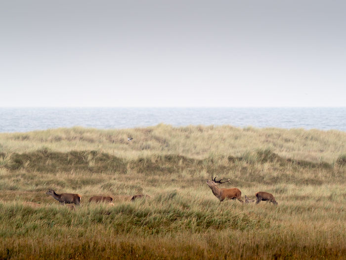 Baltic Sea Ostsee Animal Animal Themes Animal Wildlife Animals In The Wild Darß Day Deers Environment Germany Grass Group Of Animals Hirsche Horizon Landscape Mammal Nature No People Outdoors Plant Scenics - Nature Semi-arid Sky Travel Destinations Two Animals Vertebrate Wildlife