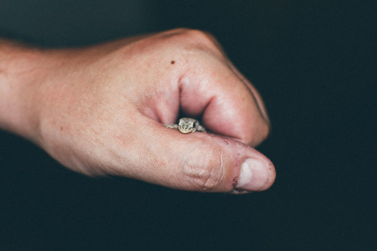 Cropped Image Of Hand Holding Lizard Against Black Background