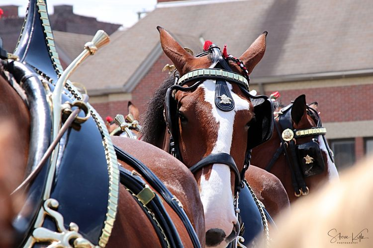 Anheuser-Busch Clydesdales Animal Themes Architecture Building Exterior Built Structure Close-up Day Domestic Animals Horse Horse Cart Mammal No People Outdoors