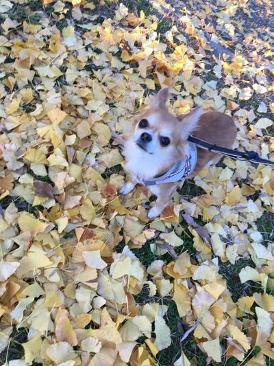 Autumn Leaf Pets One Animal Animal Themes Domestic Animals Change Mammal High Angle View Nature Day No People Outdoors Dog Close-up Beauty In Nature Niko Chihuahua Family