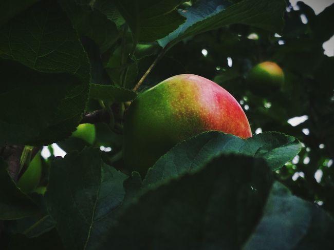 Tree Fruit Leaf Branch Agriculture Citrus Fruit Pomegranate Apple - Fruit Red Close-up