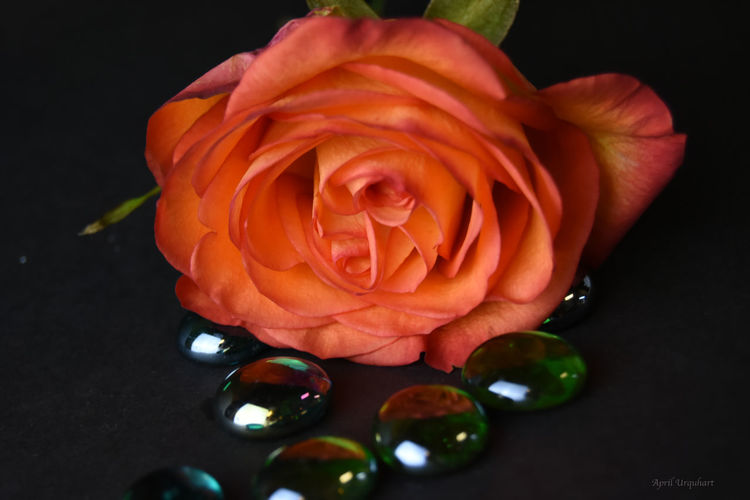 Still life orange rose and glass beads Beauty In Nature Black Background Close-up Dark Background Flower Flower Head No People Orange Orange Flower Orange Rose Orange Rose And Glass Beads Orange Roses Petals Of Roses Rose And Beads Rose And Glass Beads Rose Head Rosé Still Life Still Life Orange Rose Still Life Photography Still Life Rose Still Life. Nature. Colours