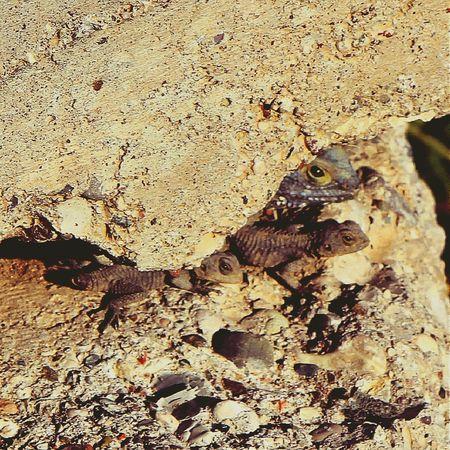 Agamidae Agamid Stellagama Laudakia Stellio Lizard Nature Family Young Reptile